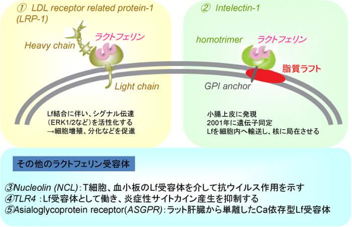 ラクトフェリン受容体についての図解